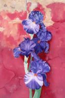 Iris by Anna Rubin