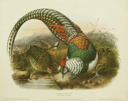 Thaumalea Amherstiae (Lady Amherst Pheasant) by H.S.Crocker Company